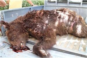 شکارچیان  یک خرس قهوه ای جوان را برای مصرف خوراکی  کشتند