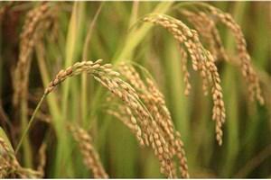 تولید افشانه ای از نانو ذرات نقره و جلوگیری از آفت زدگی برنج