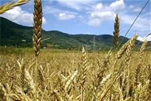 نرخ گندم باید متناسب با تورم تعیین میشد