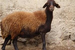گوشت گوسفند ایرانی در کویت از تهران ارزانتر شد