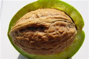 Najafabad IAU Researchers Make Magnetic Nanoparticles from Walnut Hulls