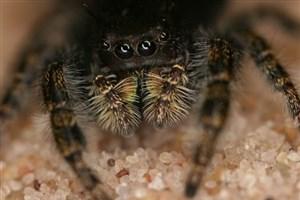 کشف بیش از ۵۰ گونه جدید عنکبوت در استرالیا