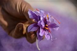 رئیس اتحادیه صادرکنندگان گیاهان دارویی: با ورود زعفران چینی،بازار زعفران ایران خوانده می شود