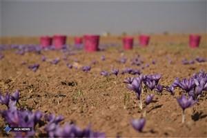 برداشت اولین محصول زعفران از مزرعه واحد دهاقان