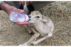 نذر شیر برای بره آهوان توسط خیرین در بوشهر
