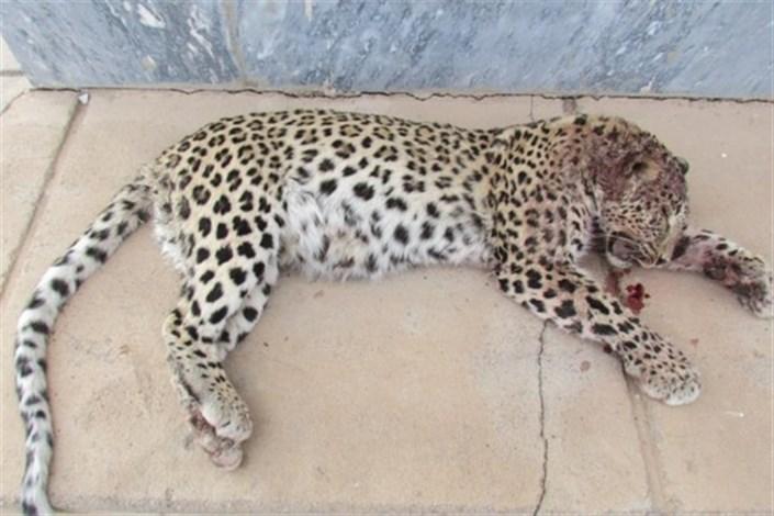 کشته شدن پلنگ ایرانی در منطقه توران