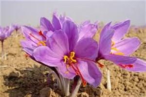 کنسرسیوم بین المللی زعفران اردیبهشت ماه امسال راه اندازی می شود