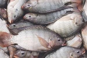 مصرف ماهی از بروز کم شنوایی در زنان جلوگیری میکند