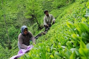 پرداخت 300 میلیارد ریال تسهیلات برای بهزراعی باغات چای