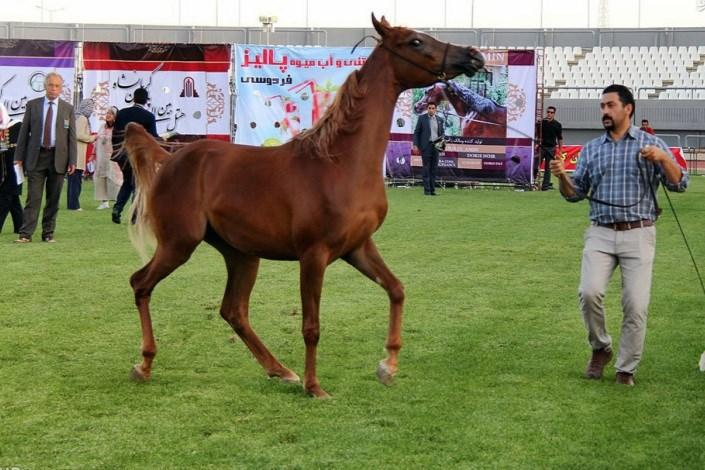 جشنواره ملی زیبایی اسب