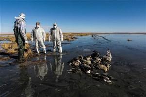 بحران آنفلوآنزای پرندگان در ۱۰ استان کشور/ موج انهدام پرندگان در تالابها/ فعالیت ۲۴ ساعته ستاد بحران در استانها