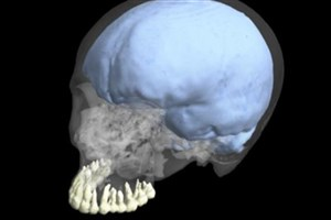 Human Teeth and Brain Evolution Were Not Linked