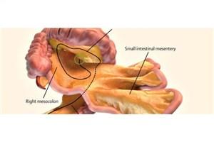 کشف یک اندام جدید در بدن!