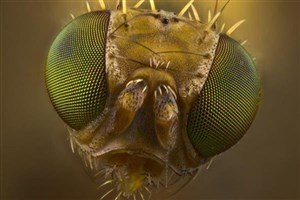 مهندسی ژنتیک مگس ۴ میلیون ساله