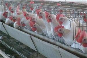 رئیس اتحادیه پرنده و ماهی: قیمت مرغ کاهش یافت