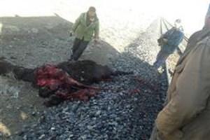 تصادف دوباره قطار در استان سمنان این بار با سه شتر!