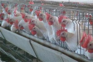 معاون سازمان دامپزشکی: مرغداران بهداشت را رعایت کنند تا آنفلوآنزا کنترل شود