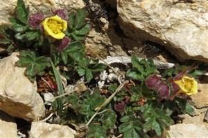 گونه جدیدی از گل سرخ کشف شد
