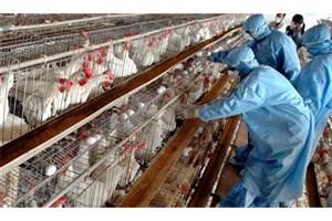 مصرف مرغ و تخم مرغ های محلی ممنوع است/ممنوعیت  ورود افراد بیمار به مرغداریها