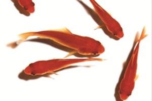 ماهی قرمز بخریم یا نخریم؟!