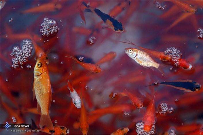 ماهی سرخ سفره هفت سین