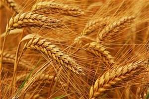 ۱۵۰ هزار تن گندم خرید تضمینی شد