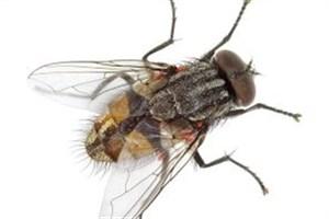 چگونه مگسها میتوانند وحشتناکترین جنایات را تشخیص دهند؟
