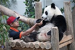 نجات نسل پانداهای چینی