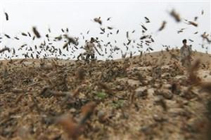 مدیر حفظ نباتات سازمان جهاد کشاورزی استان: آتش زیر خاک؛ ملخهایی که در کمین مزارع خراسانشمالی نشسته اند