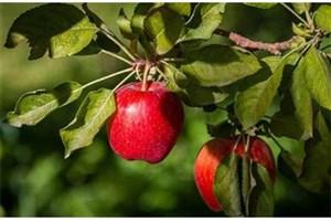 معاون وزیر جهاد کشاورزی:  22 میلیون تن محصولات باغی سال گذشته در کشور تولید شد