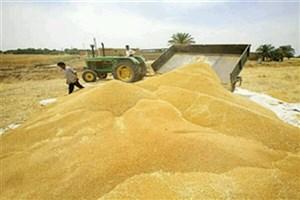 آغاز خرید تضمینی گلرنک در سیستان و بلوچستان/ خرید ۵.۵ میلیون تن گندم از کشاورزان