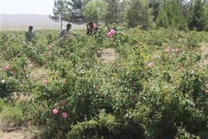 برداشت گل محمدی از اراضی دانشگاه آزاد اسلامی بافت