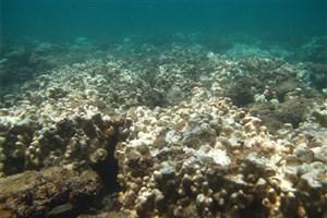 نگرانی کارشناسان از گسترش پدیده سفیدشدگی مرجانها