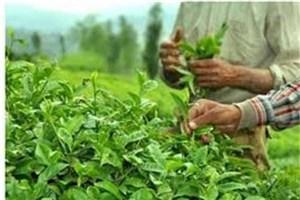 390میلیارد ریال بابت بهای برگ سبز چای پرداخت شد