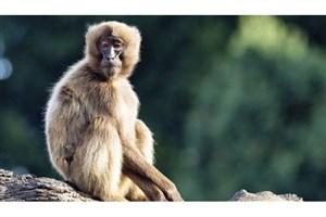 استراتژی جدید تولید واکسن برای جلوگیری از HIV در میمونها