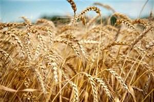 کاهش کیفیت گندم برای افزایش تولید/ ورودگندم دامی به چرخه تولید