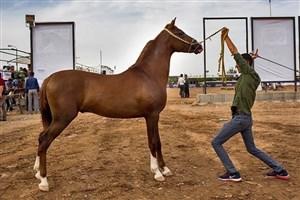 دانشگاه آزاد اسلامی واحد اشکذر میزبان بیست و یکمین جشنواره ملی زیبایی اسب اصیل عرب ایران
