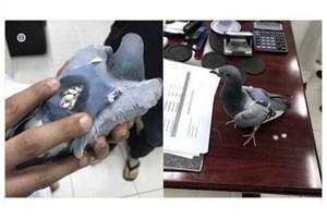 شناسایی کبوتر حامل ۱۷۸ قرص مخدر در کویت