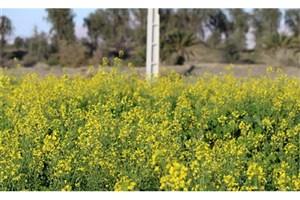 خرید تضمینی کلزا از ۳۹ هزارتن گذشت/واریز ۷۰ درصد مطالبات کشاورزان