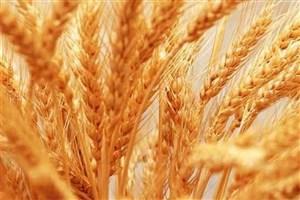 تولید گندم ناسالم تکذیب شد