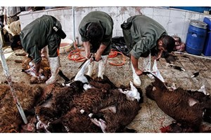 امکان ابتلا به تب کریمه کنگو در شتر و اسب وجود دارد/ دامداریهای صنعتی ضامن سلامت دامها
