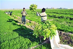 اعطای وام قرضالحسنه ۱۵ میلیون تومانی به کشاورزان کارآفرین