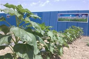 مزرعه کشاورزی دانش اموزان دبیرستان پسرانه دوره اول سمای نیشابور به بار نشست