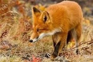 روباهها هیچ خطر و تهدیدی برای مردم تهران  ندارند/ فواید روباهها برای تهران