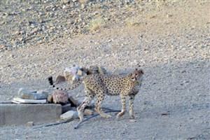 مشاهده دو یوزپلنگ در پناهگاه حیات وحش دره انجیر اردکان