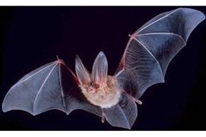 خفاشها منشا انتقال عفونت ویروسی بعدی به انسان