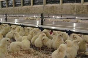 مدیرکل دامپزشکی خراسان جنوبی: بیش از ۲ میلیون جوجه گوشتی در مرغداریهای بیرجند تولید شد