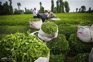 دستیابی به خودکفایی 50 درصدی در صنعت چای طی دو برنامه پنج ساله/سرمایه صندوق چایکاران به 600 میلیارد ریال رسید