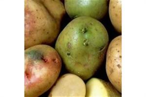تعیین درصد ماده سرطان زا در سیب زمینی با فناوری نانو