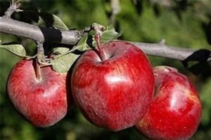 رئیس جهاد کشاورزی آذربایجان غربی:بیش از ۱ میلیون تن سیب امسال تولید می شود